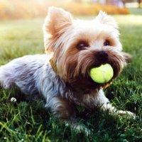 Köpek seslerini İngilizceye çevirecek cihaz geliyor