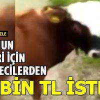 Trabzon'da bir kişi eğitiği tosunun haberi yapılması için 25 bin TL istemesi