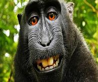 Maymun selfie'sine telif şoku